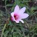 Zephyranthes brachyandra - Photo (c) Fernanda Alarcón, μερικά δικαιώματα διατηρούνται (CC BY-NC)