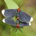 Polilla Negra de Puntas Blancas - Photo (c) Ricardo Arredondo T., algunos derechos reservados (CC BY-NC)