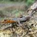 Gonatodes caudiscutatus - Photo (c) Ricardo Elbay, algunos derechos reservados (CC BY-NC)