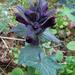 Bartsia alpina - Photo (c) Kari Pihlaviita, μερικά δικαιώματα διατηρούνται (CC BY-NC)