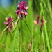 Melampyrum cristatum - Photo (c) Natural  England, algunos derechos reservados (CC BY-NC-ND)