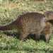 Banded Mongoose - Photo (c) seasav, some rights reserved (CC BY-NC-ND)