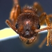 Myrmica specioides - Photo (c) giulianadefilippis, some rights reserved (CC BY-NC)