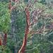 Madroños - Photo (c) M.E. Sanseverino, algunos derechos reservados (CC BY-NC-ND)