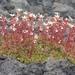 Saxifraga bronchialis cherlerioides - Photo (c) Boris Bolshakov, some rights reserved (CC BY-NC)
