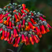 Kalanchoe - Photo (c) bodro, some rights reserved (CC BY-NC)