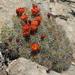 Echinocereus triglochidiatus mojavensis - Photo (c) Jim Morefield, algunos derechos reservados (CC BY)