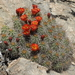 Mojave Kingcup Cactus - Photo (c) Jim Morefield, some rights reserved (CC BY)