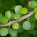Myrsine divaricata - Photo (c) James Gaither, μερικά δικαιώματα διατηρούνται (CC BY-NC-ND)