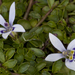 Isotoma fluviatilis - Photo (c) Bill Higham, algunos derechos reservados (CC BY-NC-ND)