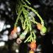 Dacrycarpus dacrydioides - Photo (c) Jon Sullivan, algunos derechos reservados (CC BY-NC)