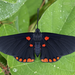 Red-bordered Pixie - Photo (c) Eduardo Axel Recillas Bautista, some rights reserved (CC BY-NC)