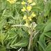 Thermopsis lupinoides - Photo (c) Boris Bolshakov,  זכויות יוצרים חלקיות (CC BY-NC)