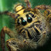 Zebrastripe Jumping Spiders - Photo (c) H. K. Tang, some rights reserved (CC BY-NC-ND)