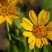 Balsamorhiza deltoidea - Photo (c) Brent Miller, algunos derechos reservados (CC BY-NC-ND)