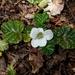 Rubus geoides - Photo (c) Pat Deacon, μερικά δικαιώματα διατηρούνται (CC BY-NC)