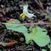 Solanum pumilum - Photo (c) Alvin Diamond, algunos derechos reservados (CC BY-NC)