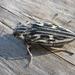 Chalcophora mariana - Photo (c) Olga Biryukova, algunos derechos reservados (CC BY-NC)