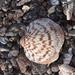 Glycymeris gigantea - Photo (c) diegoleon22, μερικά δικαιώματα διατηρούνται (CC BY-NC)