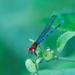 Coenagrionoidea - Photo (c) Tony Iwane, algunos derechos reservados (CC BY-NC)