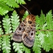 Proteuxoa sanguinipuncta - Photo (c) Lisa Bennett, algunos derechos reservados (CC BY)