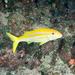 Mulloidichthys dentatus - Photo (c) David R,  זכויות יוצרים חלקיות (CC BY-NC)