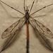 Tipula abdominalis - Photo (c) Paul Bedell,  זכויות יוצרים חלקיות (CC BY-NC-SA)