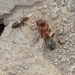Pugnacious and Crazy Ants - Photo (c) Marion Maclean, some rights reserved (CC BY-NC)