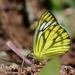 Cepora nerissa - Photo (c) Firos AK, algunos derechos reservados (CC BY)