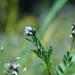 Astragalus gambelianus - Photo (c) Belinda Lo, μερικά δικαιώματα διατηρούνται (CC BY-NC-SA)