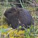 Cuyos, Capibaras Y Parientes - Photo (c) jorgebrito, algunos derechos reservados (CC BY-NC)