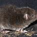 Ratón Marsupial Sedoso - Photo (c) jorgebrito, algunos derechos reservados (CC BY-NC)