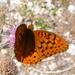 Speyeria carolae - Photo (c) Nick Block, μερικά δικαιώματα διατηρούνται (CC BY)