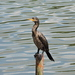Neotropic Cormorant - Photo (c) Nicolás Rozo, some rights reserved (CC BY-NC)