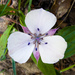 Oakland Mariposa Lily - Photo (c) Ken-ichi Ueda, some rights reserved (CC BY)