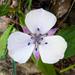 Calochortus umbellatus - Photo (c) Ken-ichi Ueda, algunos derechos reservados (CC BY)