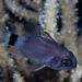 Tailring Cardinalfish - Photo (c) Georgina Jones, some rights reserved (CC BY-SA)