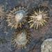 Patellidae - Photo (c) Sandy__R, osa oikeuksista pidätetään (CC BY)