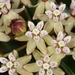 Michaux's Milkweed - Photo (c) Jason Ksepka, some rights reserved (CC BY-NC)