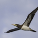 Brown Booby - Photo (c) Sergio Rivero Beneitez, some rights reserved (CC BY-NC-SA)