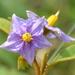 Solanum campylacanthum campylacanthum - Photo (c) copper, alguns direitos reservados (CC BY-NC)