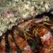 Dardanus crassimanus - Photo (c) Tony Strazzari, algunos derechos reservados (CC BY-NC)