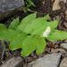 Maianthemum racemosum - Photo (c) Jerry Oldenettel, algunos derechos reservados (CC BY-NC-SA)