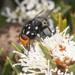 Amenia nigromaculata - Photo (c) Keith Martin-Smith, algunos derechos reservados (CC BY-NC-ND)