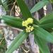 Laurel de California - Photo (c) danlenz, algunos derechos reservados (CC BY-NC)