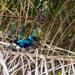 Lamprotornis chalcurus - Photo (c) Brieuc Fertard, alguns direitos reservados (CC BY-NC-ND)