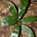 Zamia cunaria - Photo (c) Michael Roy, algunos derechos reservados (CC BY-NC)