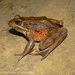 Northern Red-legged Frog - Photo (c) Matthew L. Niemiller, some rights reserved (CC BY-NC)
