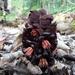 Bdallophytum americanum - Photo (c) hmota, algunos derechos reservados (CC BY-NC)