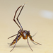 White-footed Woods Mosquito - Photo (c) César Favacho, some rights reserved (CC BY-NC)